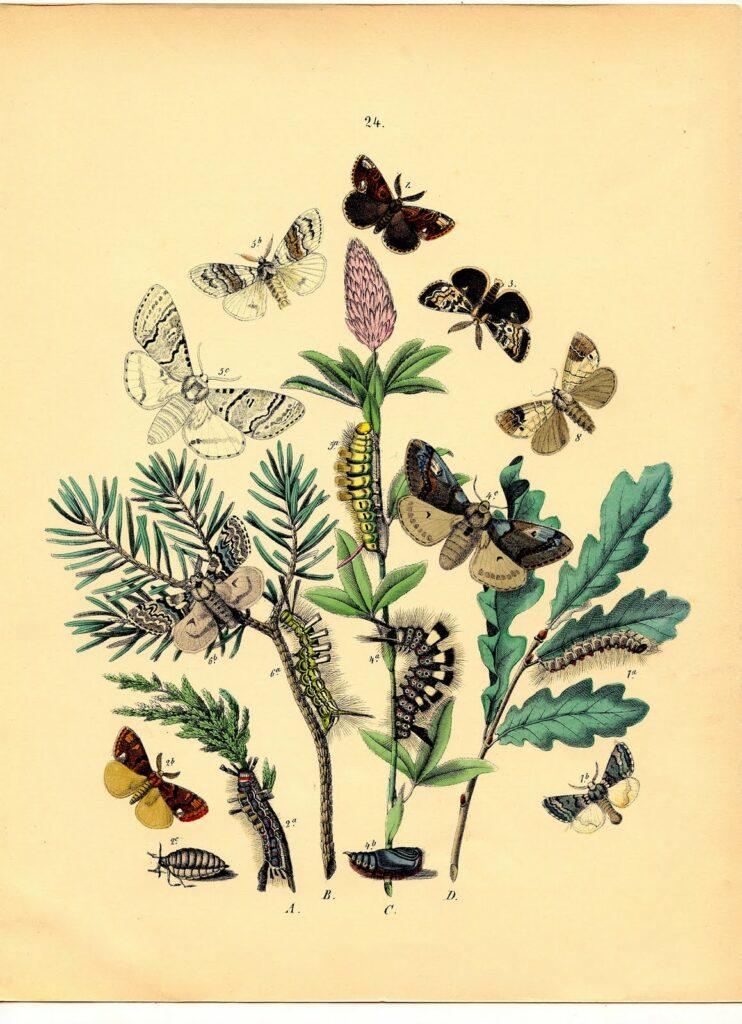 Bohemian moths illustration