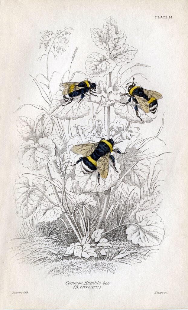 vintage bumble bee image