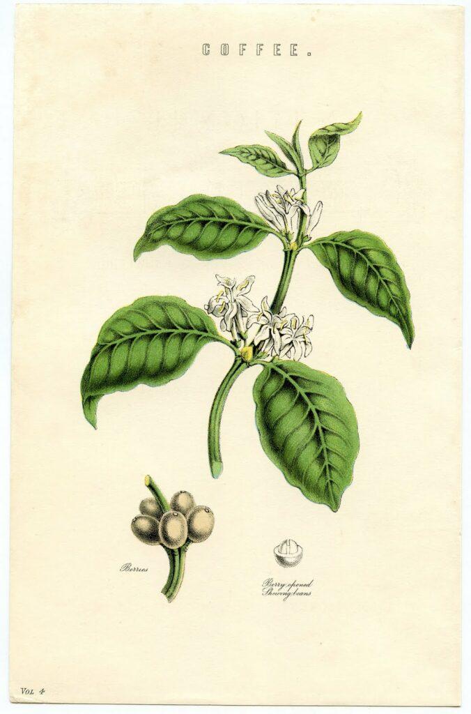 coffee vintage botanical print image