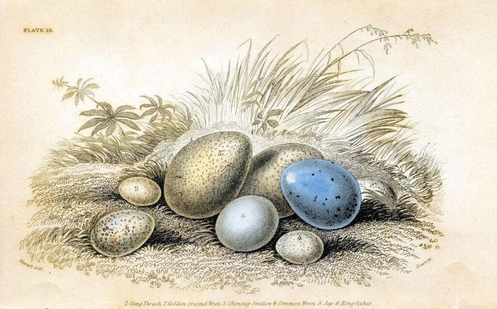 antique blue eggs illustration