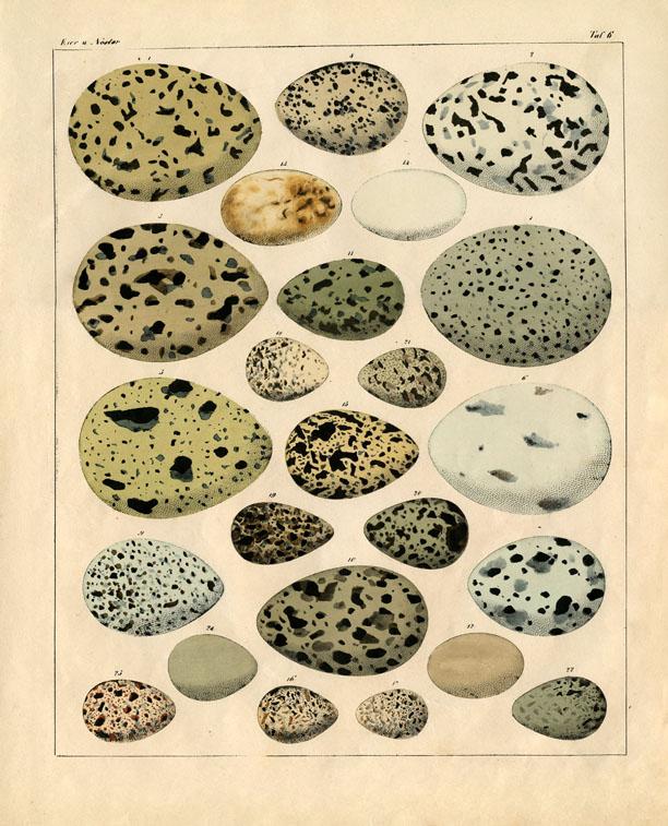 vintage eggs natural history illustration