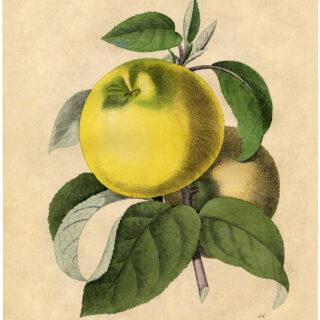 botanical apple print image