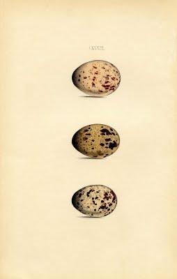 Morris brown eggs vintage illustration