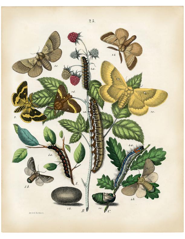 natural history moth print illustration