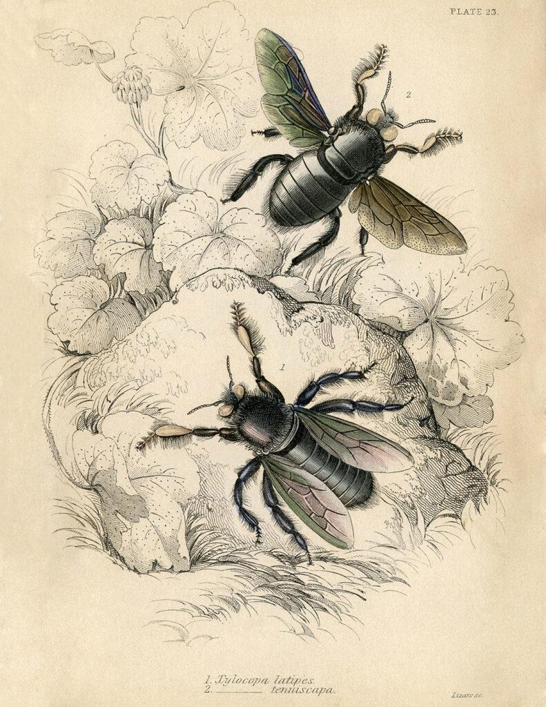 natural history bees plant illustration