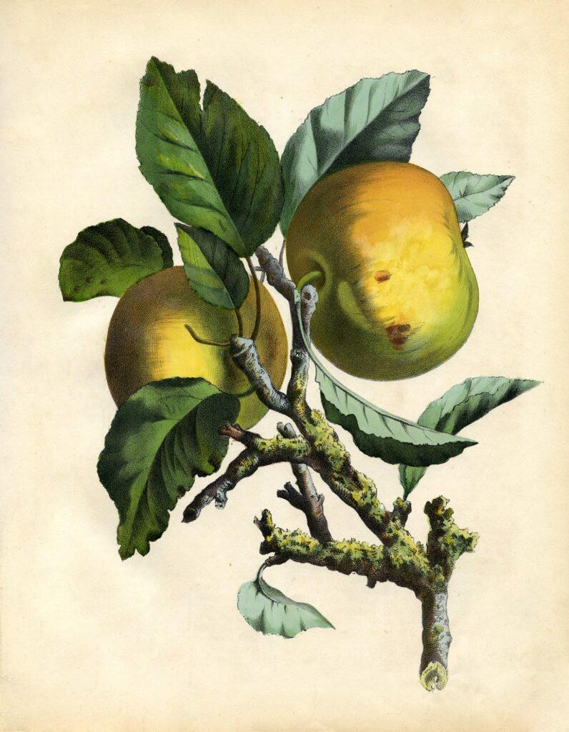 printable wall decor botanical apples illustration