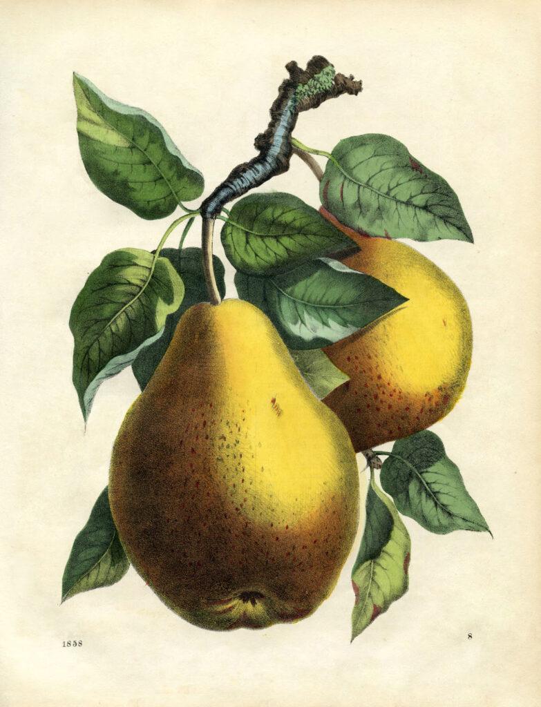 vintage botanical pear image