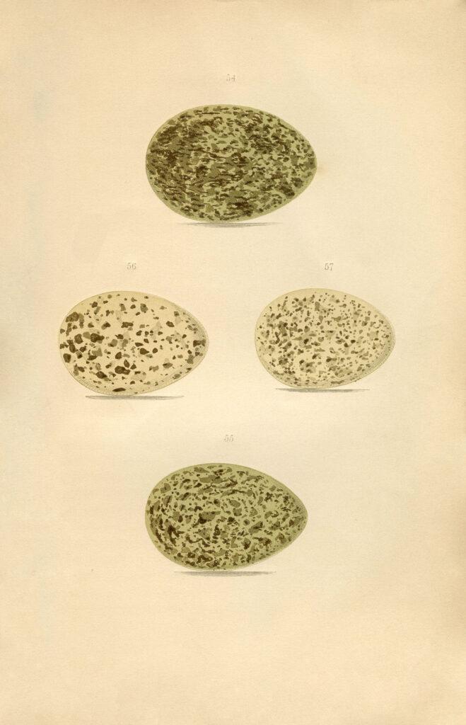 speckled eggs vintage natural history image