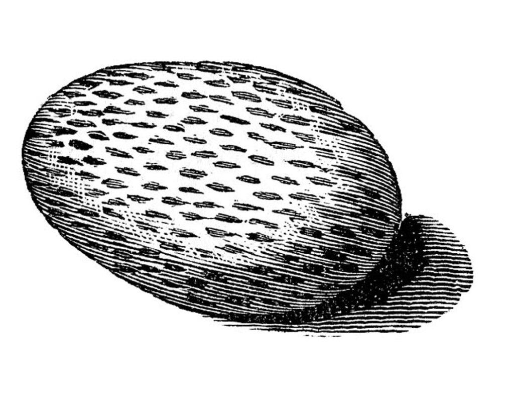 vintage black white speckled egg clipart