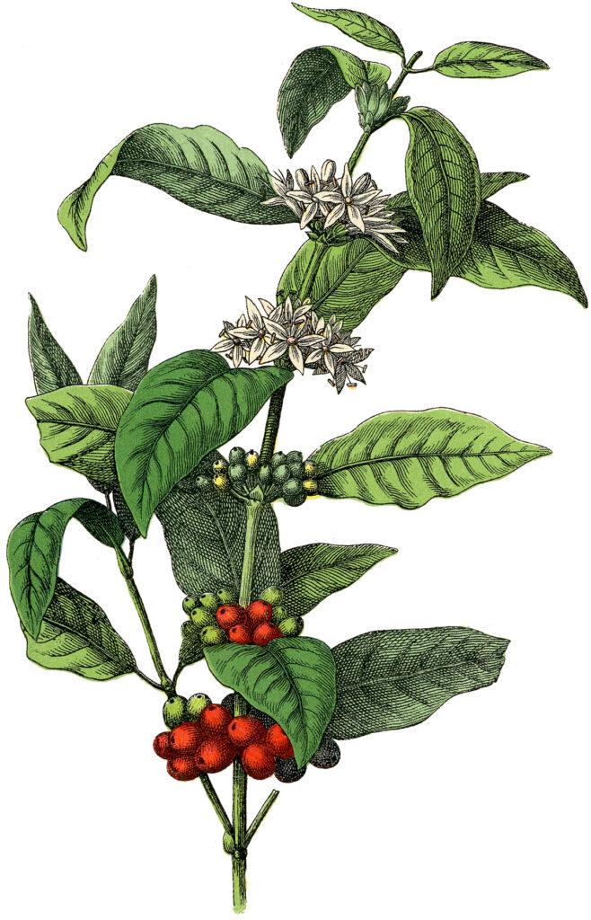 vintage coffee plant illustration