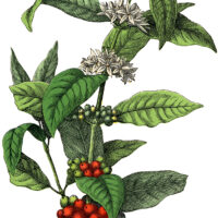stock image coffee plant clipart