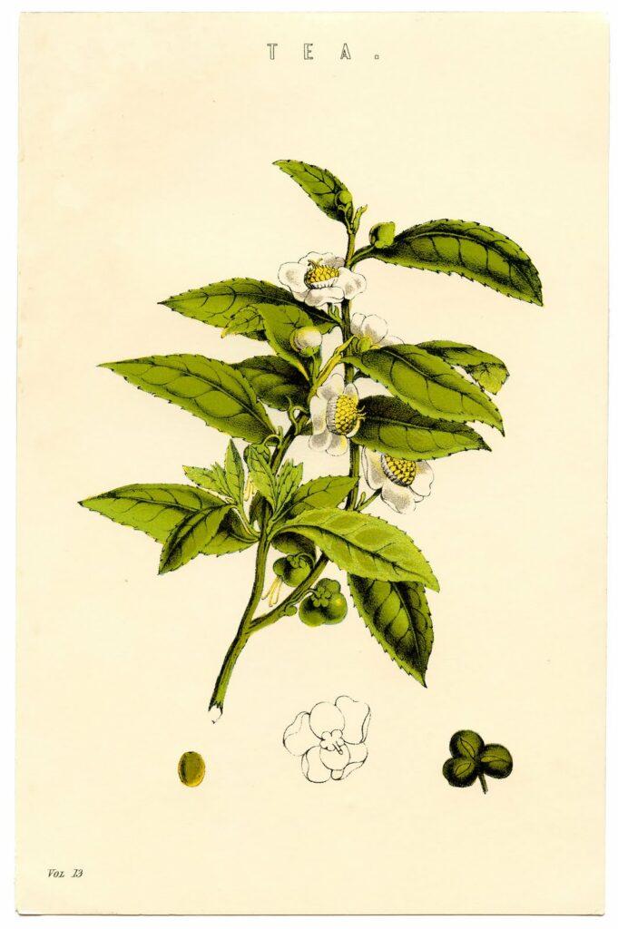 tea botanical image