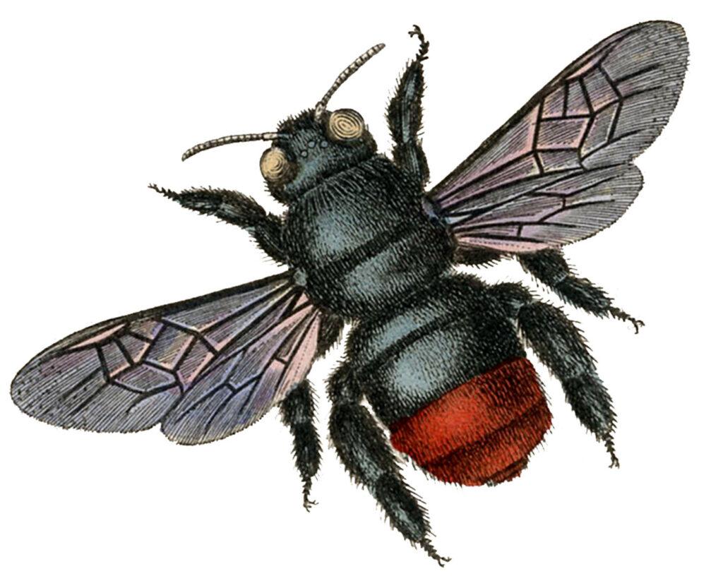 vintage black red bee clipart
