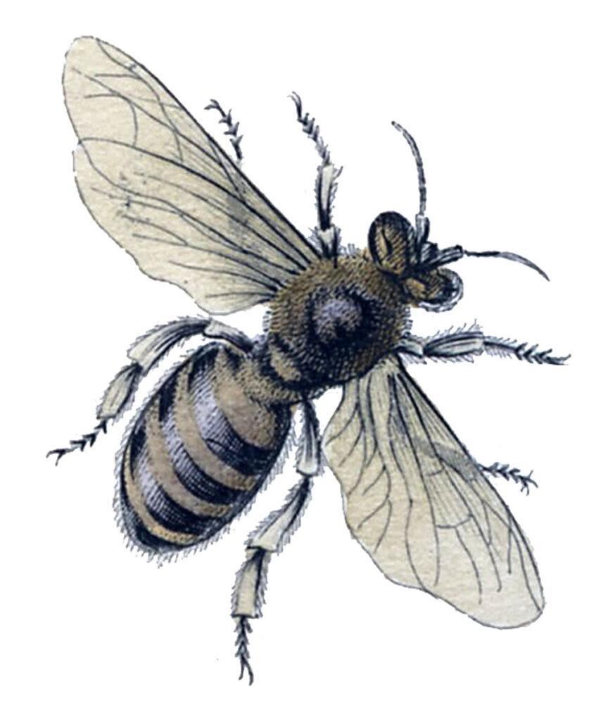 vintage black bee illustration