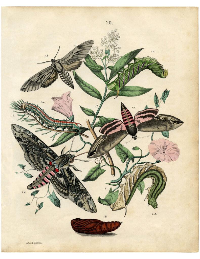 vintage Bohemian moth print pink flowers illustration