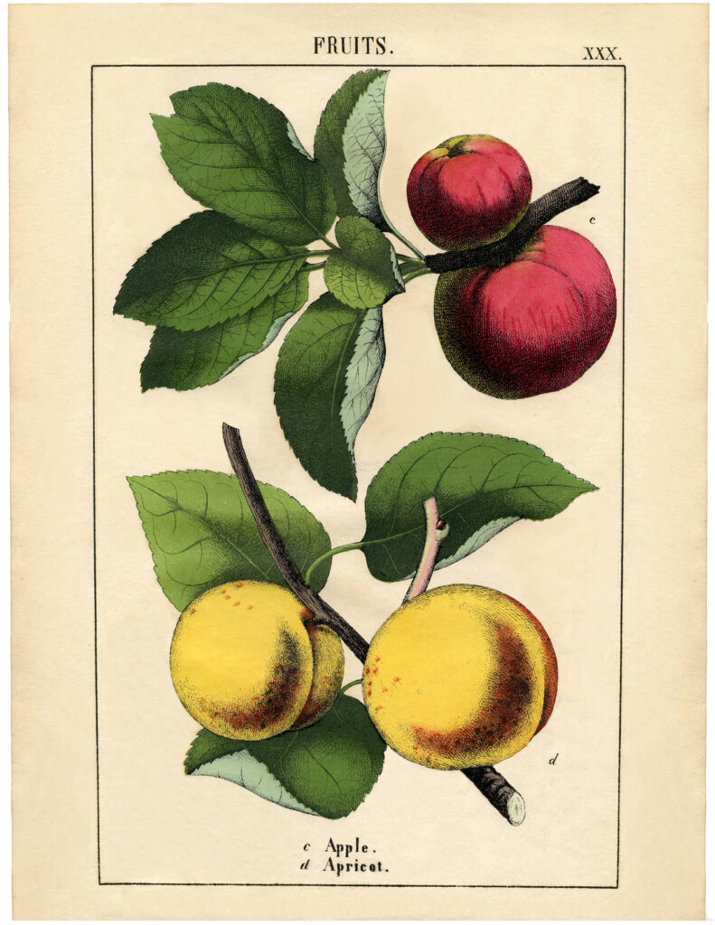 botanical red yellow apples image