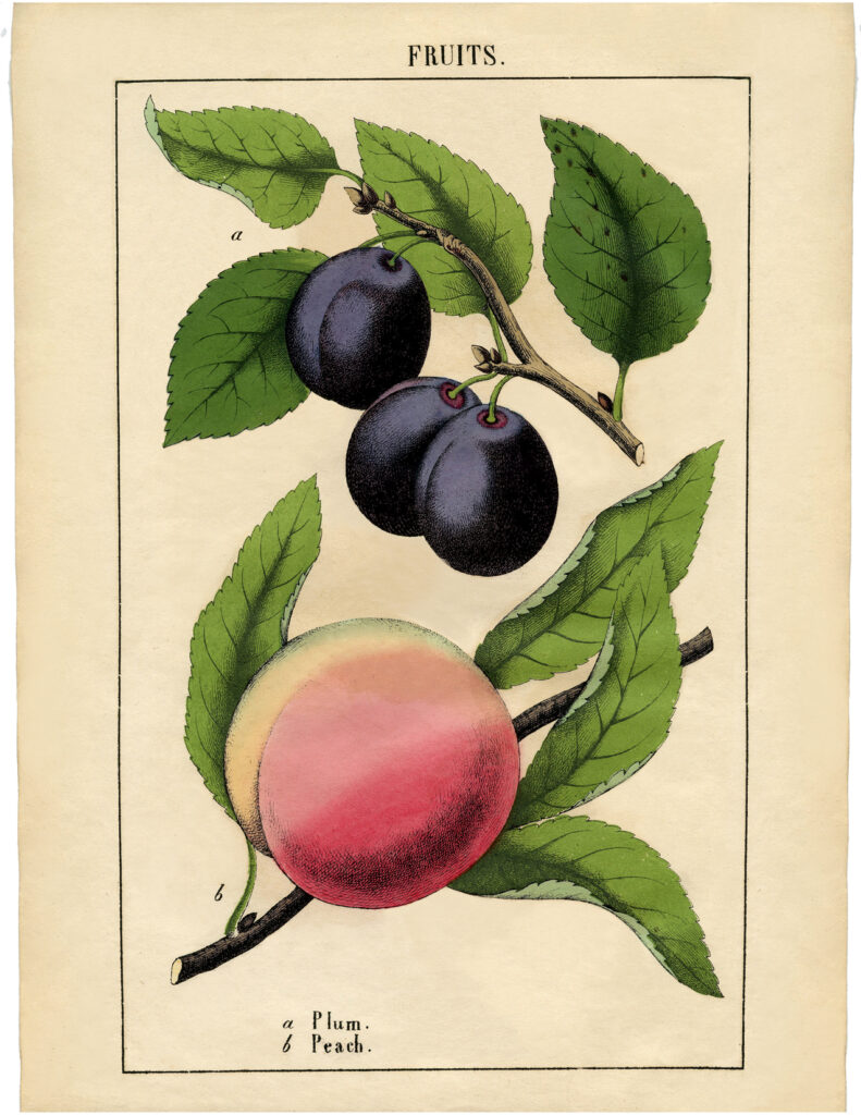 vintage plum peach botanical fruit image
