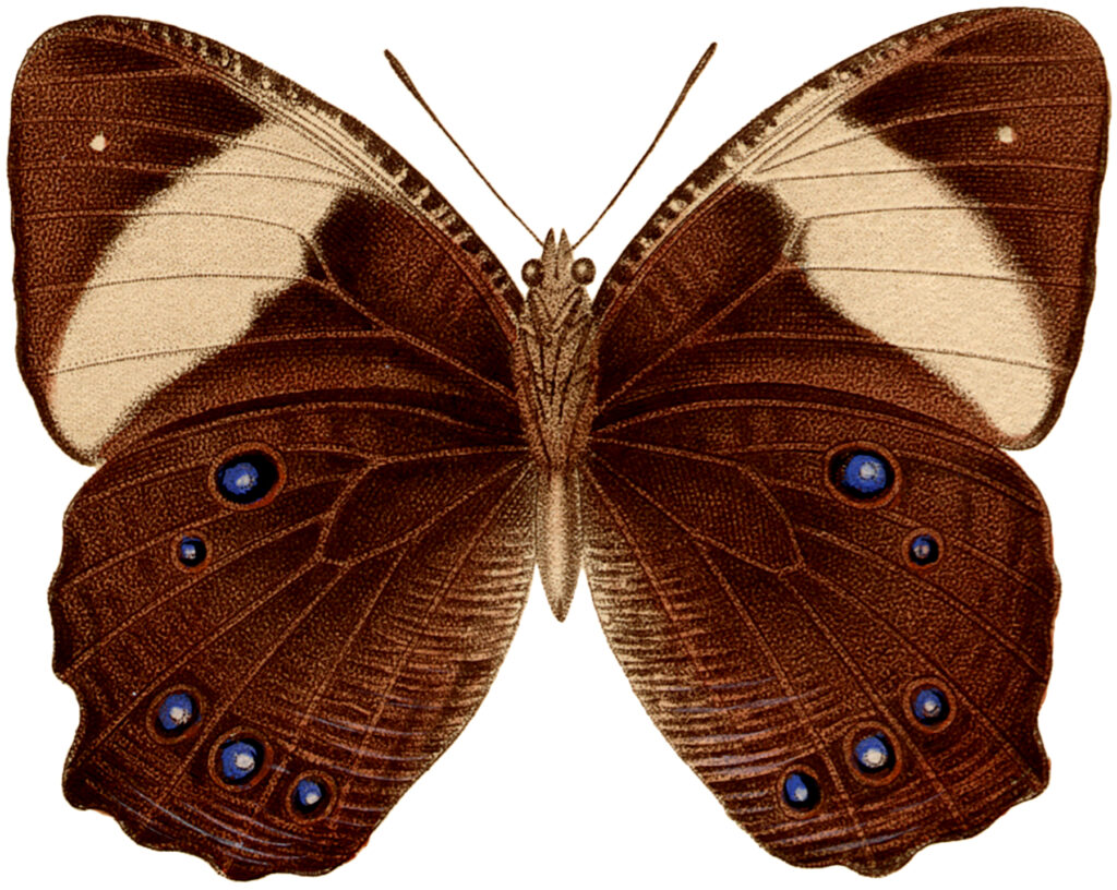brown butterfly blue spots vintage image