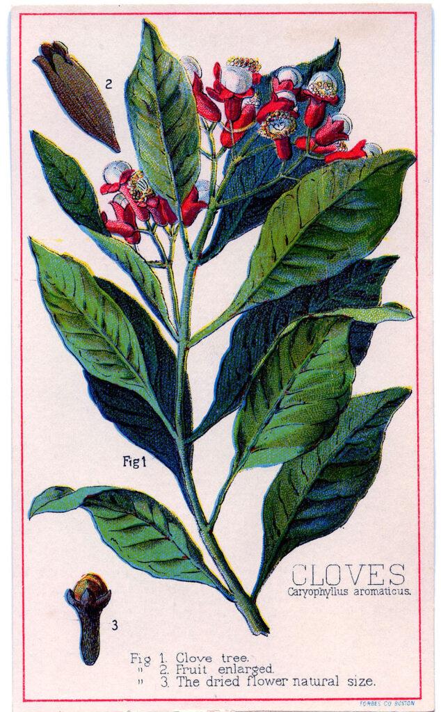 vintage cloves botanical illustration