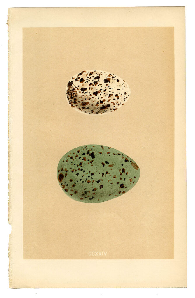 Vintage Morris eggs printable image