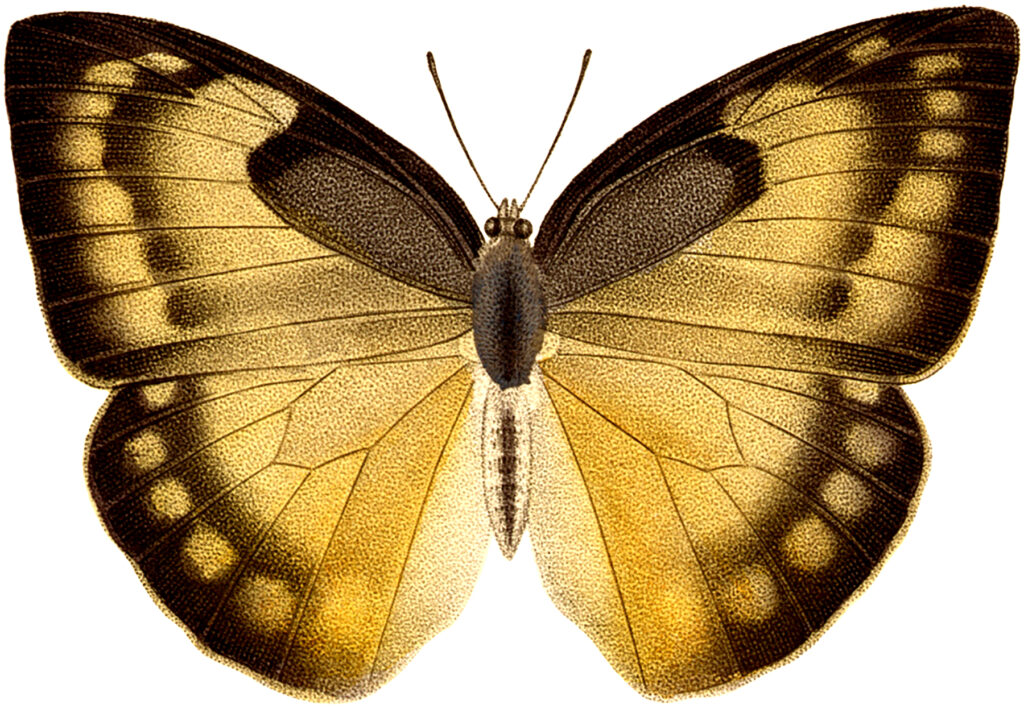 Yellow, Brown and Tan Butterfly Picture