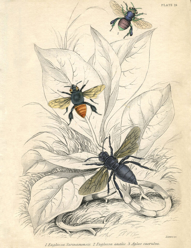 vintage bees plant illustration