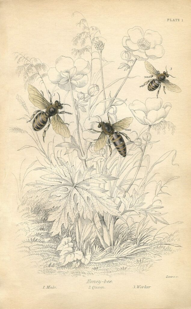 vintage printable honey bees image