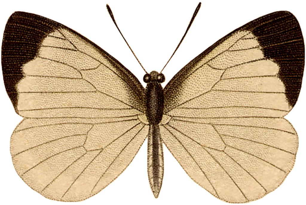 vintage tan butterfly illustration