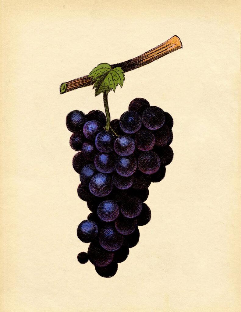 vintage purple grapes illustration