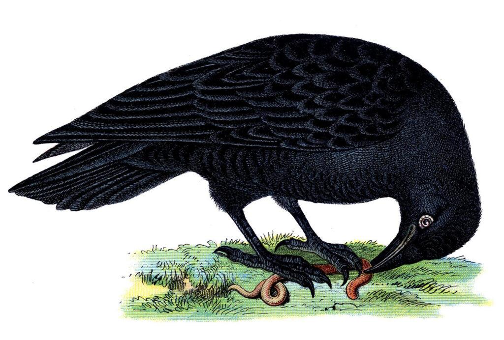 vintage bird black raven illustration