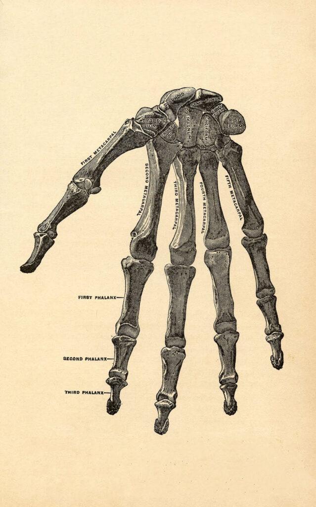 Hand Bones Image