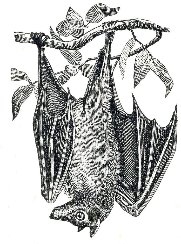 hanging bat branch dictionary imaget