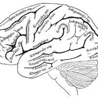 vintage brain chart illustration