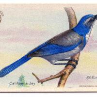 California Jay blue bird vintage image
