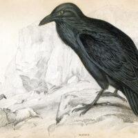 black Raven vintage natural history print image
