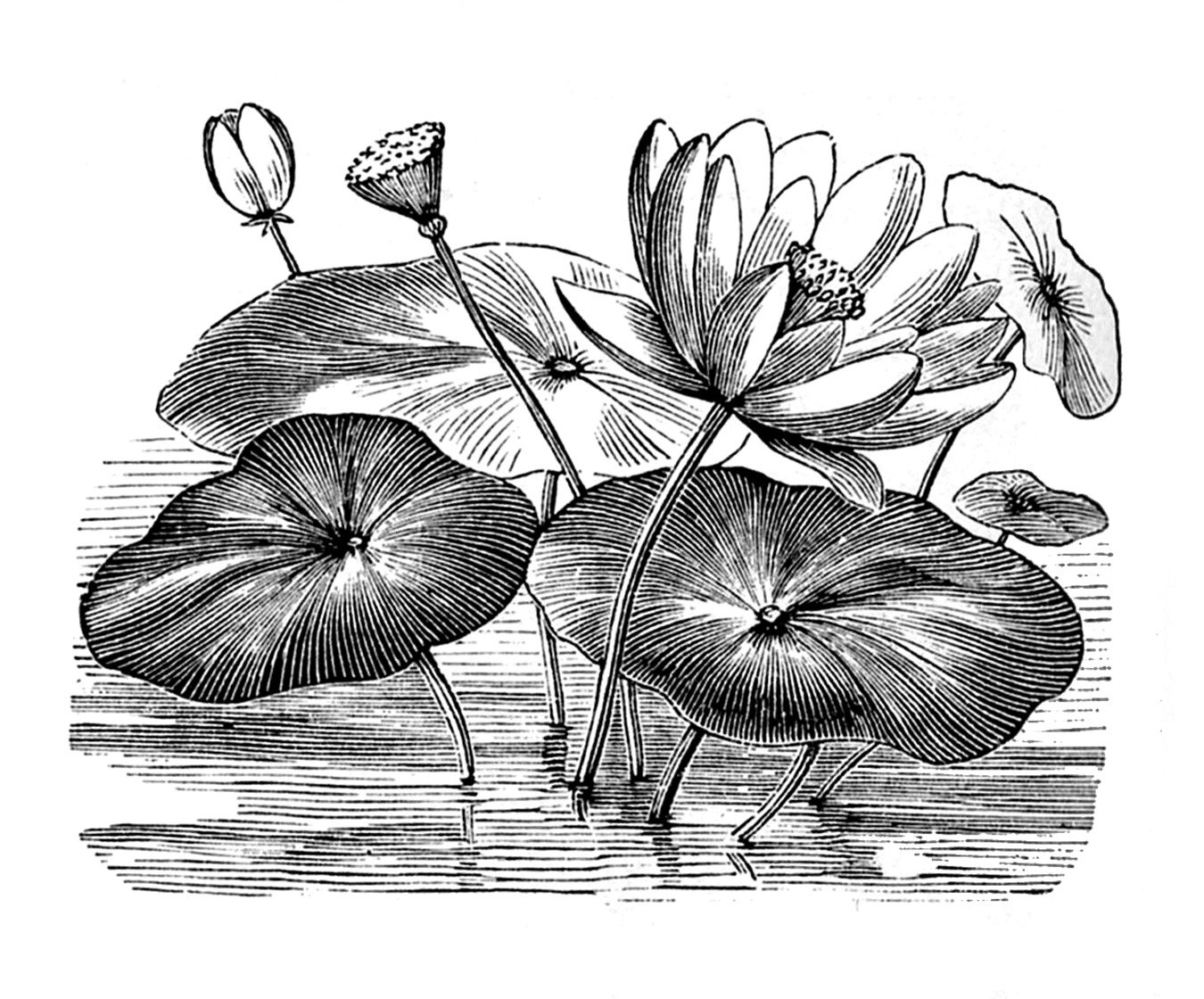 Vintage Clip Art - Water Lily - Lotus Flowers - The Graphics Fairy