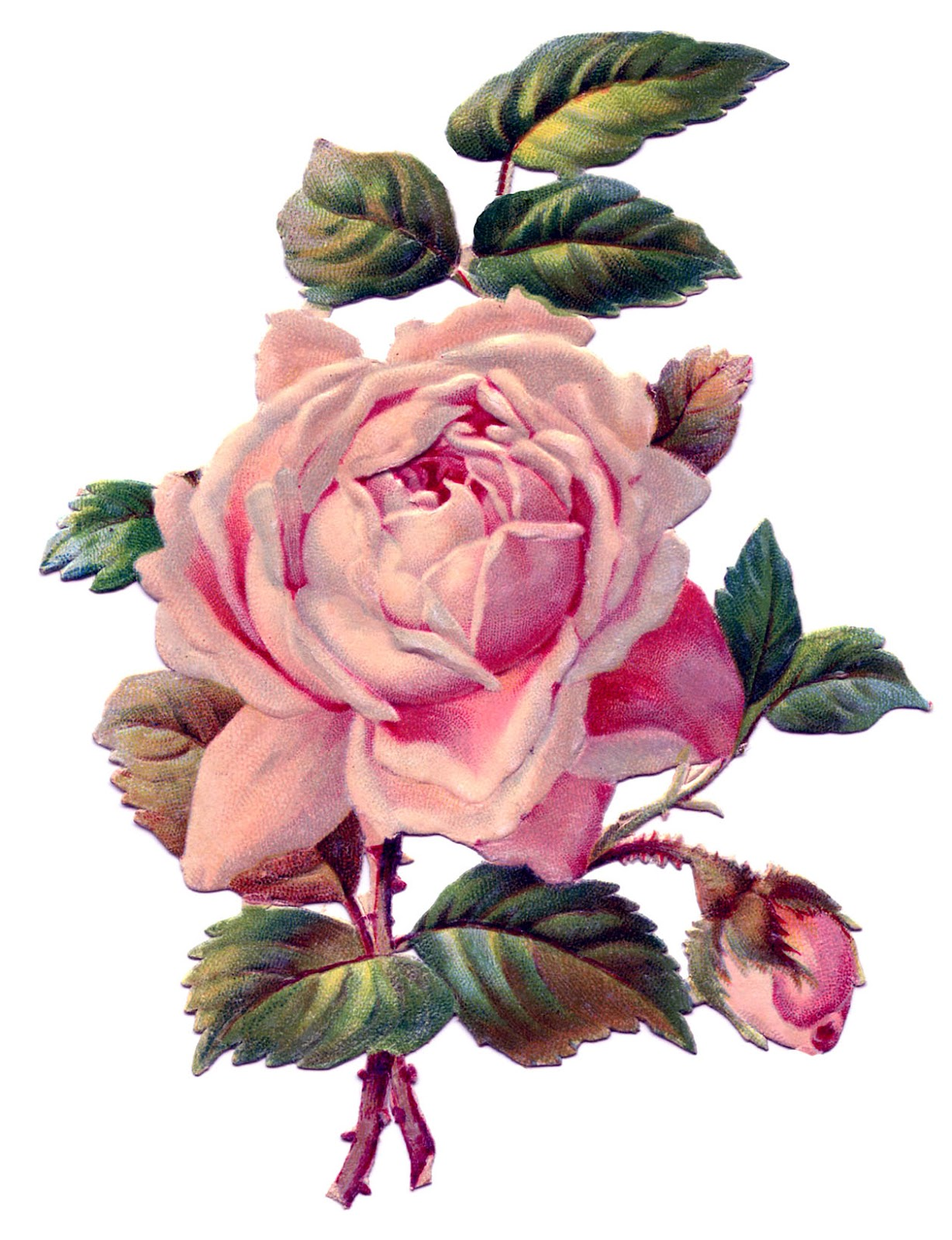 Vintage Image Pretty Pink Rose The Graphics Fairy
