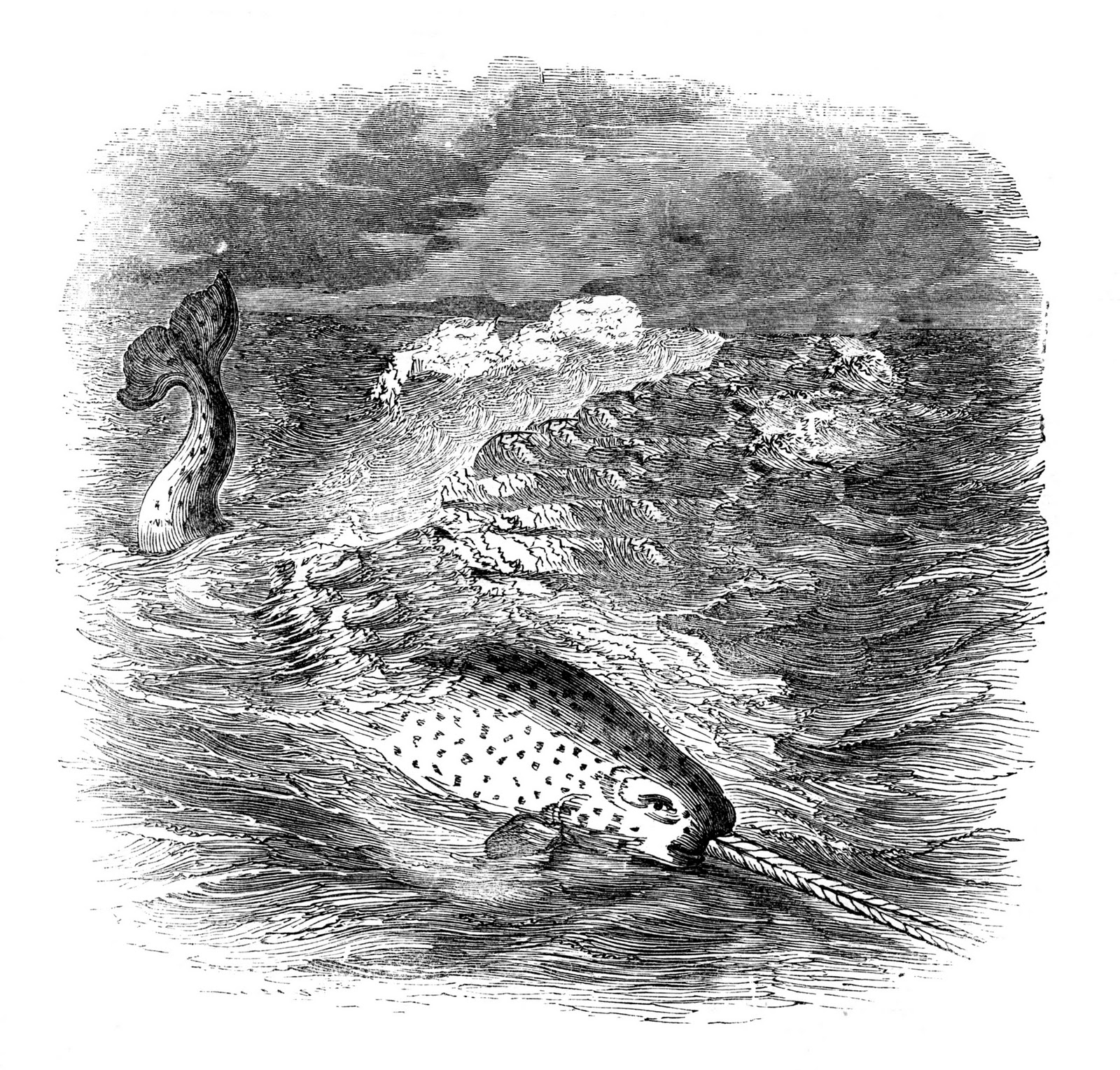 Vintage Sea Clip Art Narwhals The Graphics Fairy