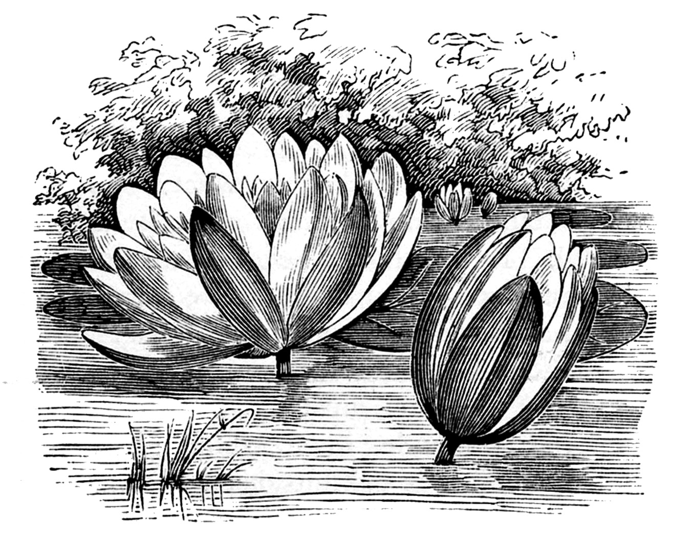 Vintage Clip Art Water Lily Lotus Flowers The Graphics Fairy