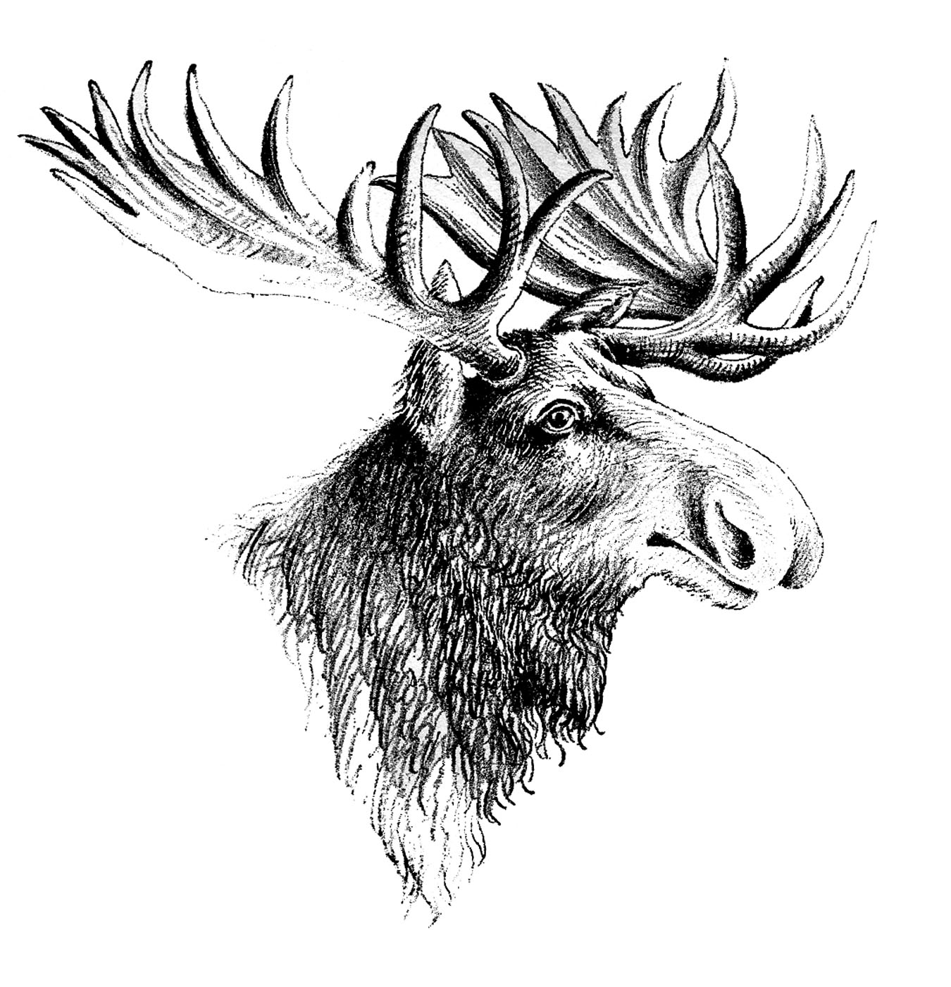Gallery For gt Moose Head Clipart Black And White