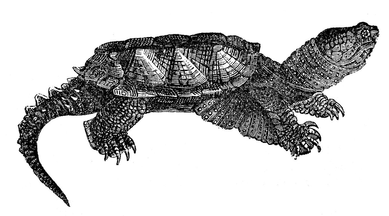 Vintage Clip Art Turtles And Turtle Skeleton The
