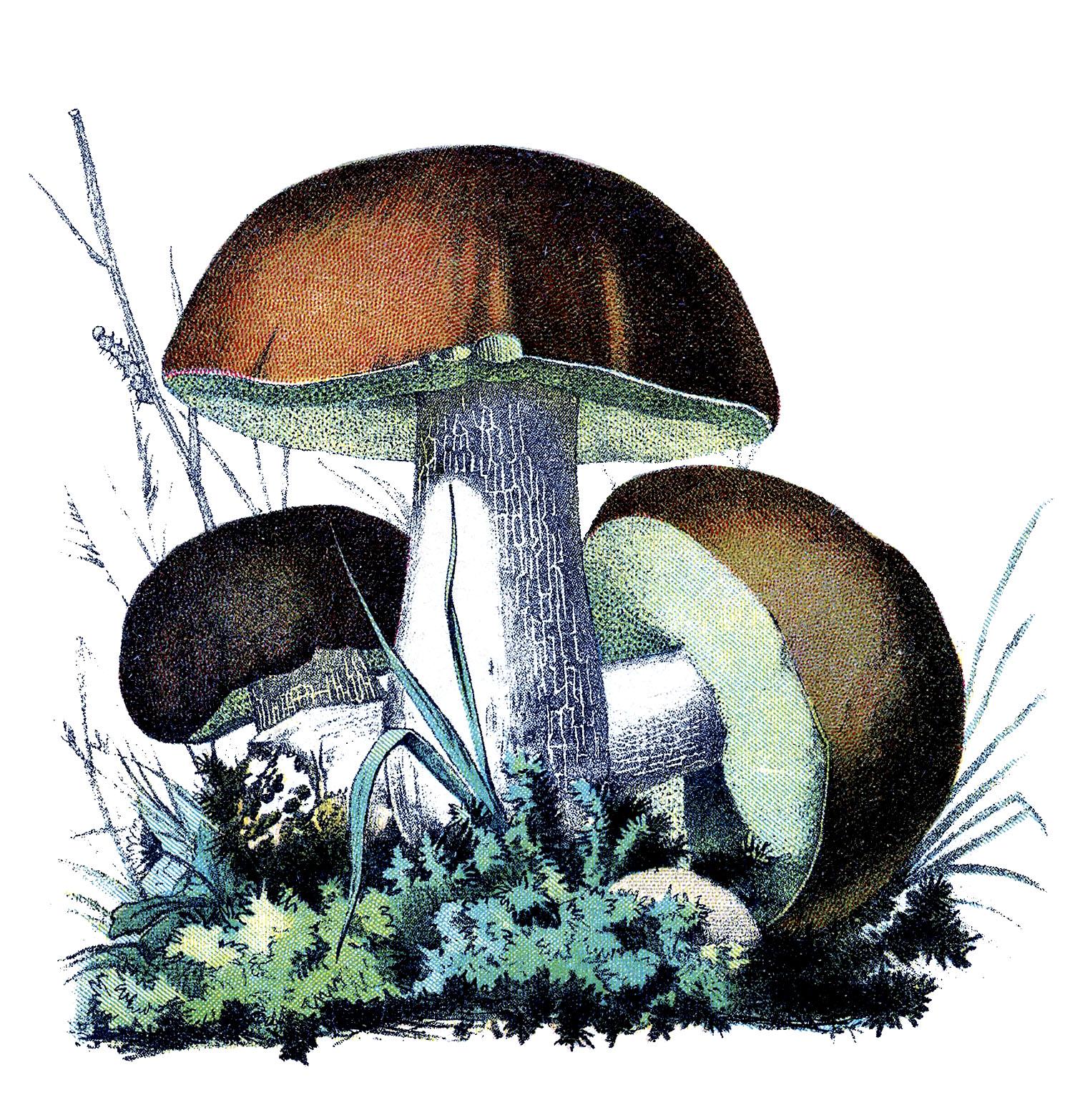 Vintage Botanical Graphics - Mushrooms - The Graphics Fairy  Vintage Botanic...