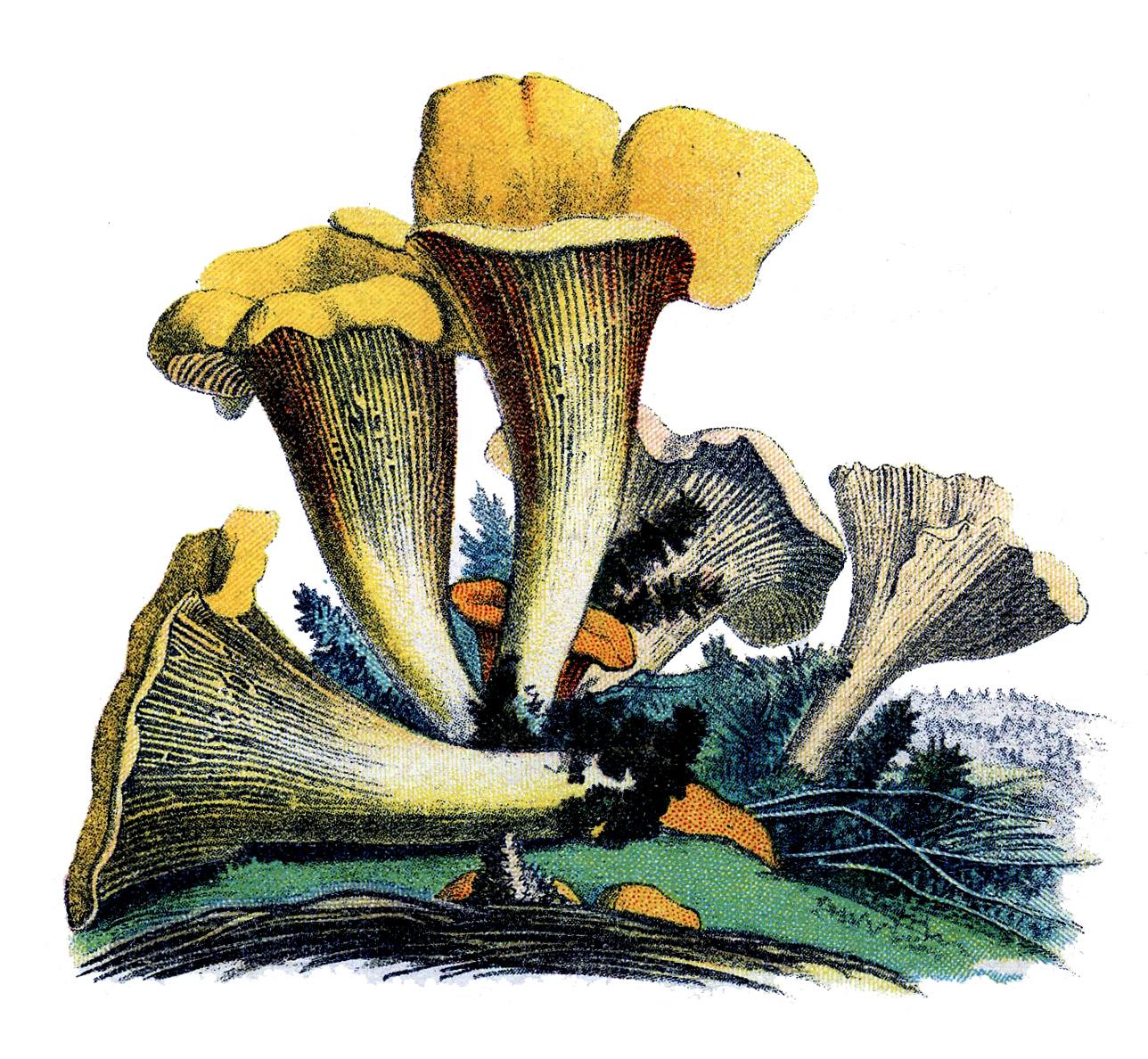 Vintage Botanical Graphic - Yellow Mushrooms