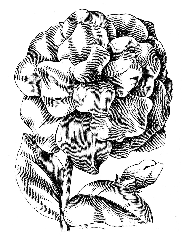 Vintage Floral Clip Art - Petunias - The Graphics Fairy