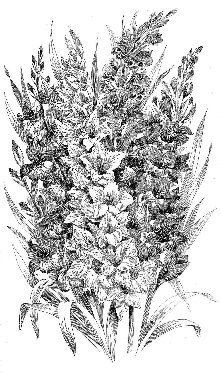 vintage clip art black and white gladiolus engraving the
