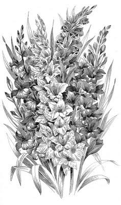 Vintage Clip Art Black and White Gladiolus Engraving