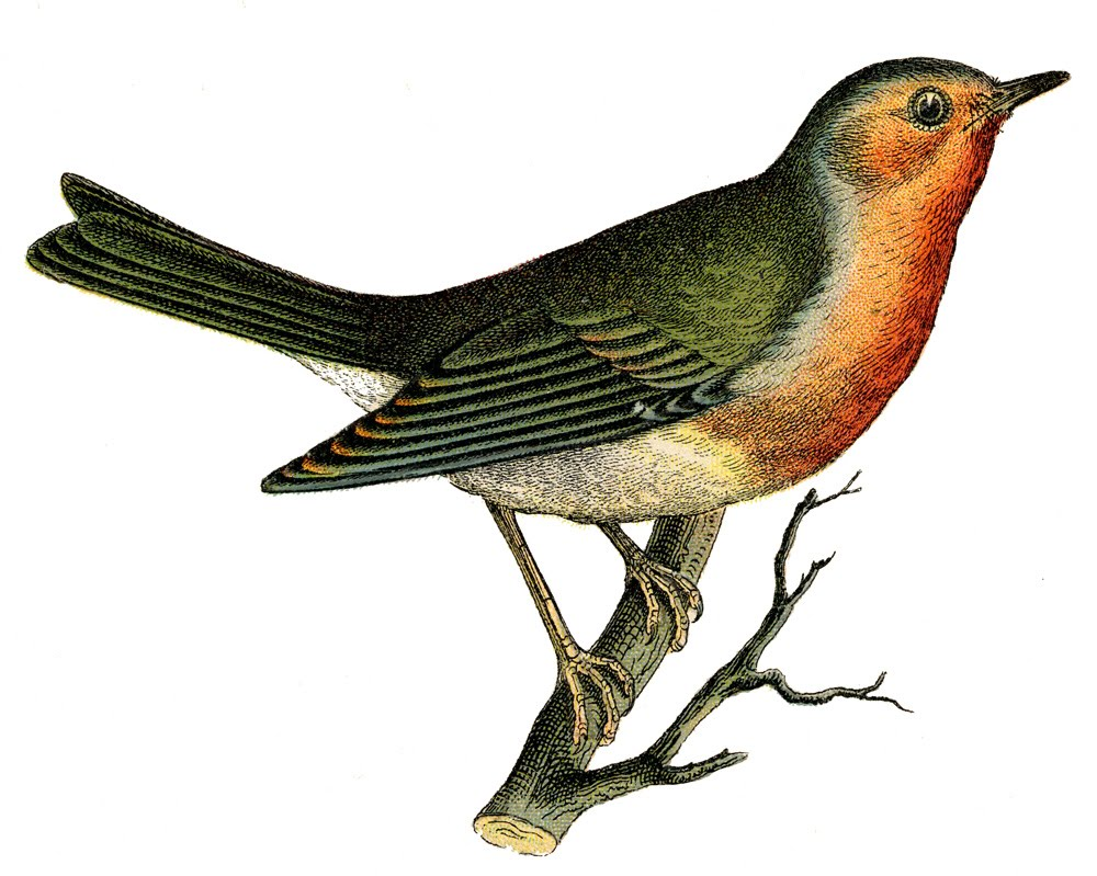 Vintage Graphic Image Wonderful Robin On Branch The