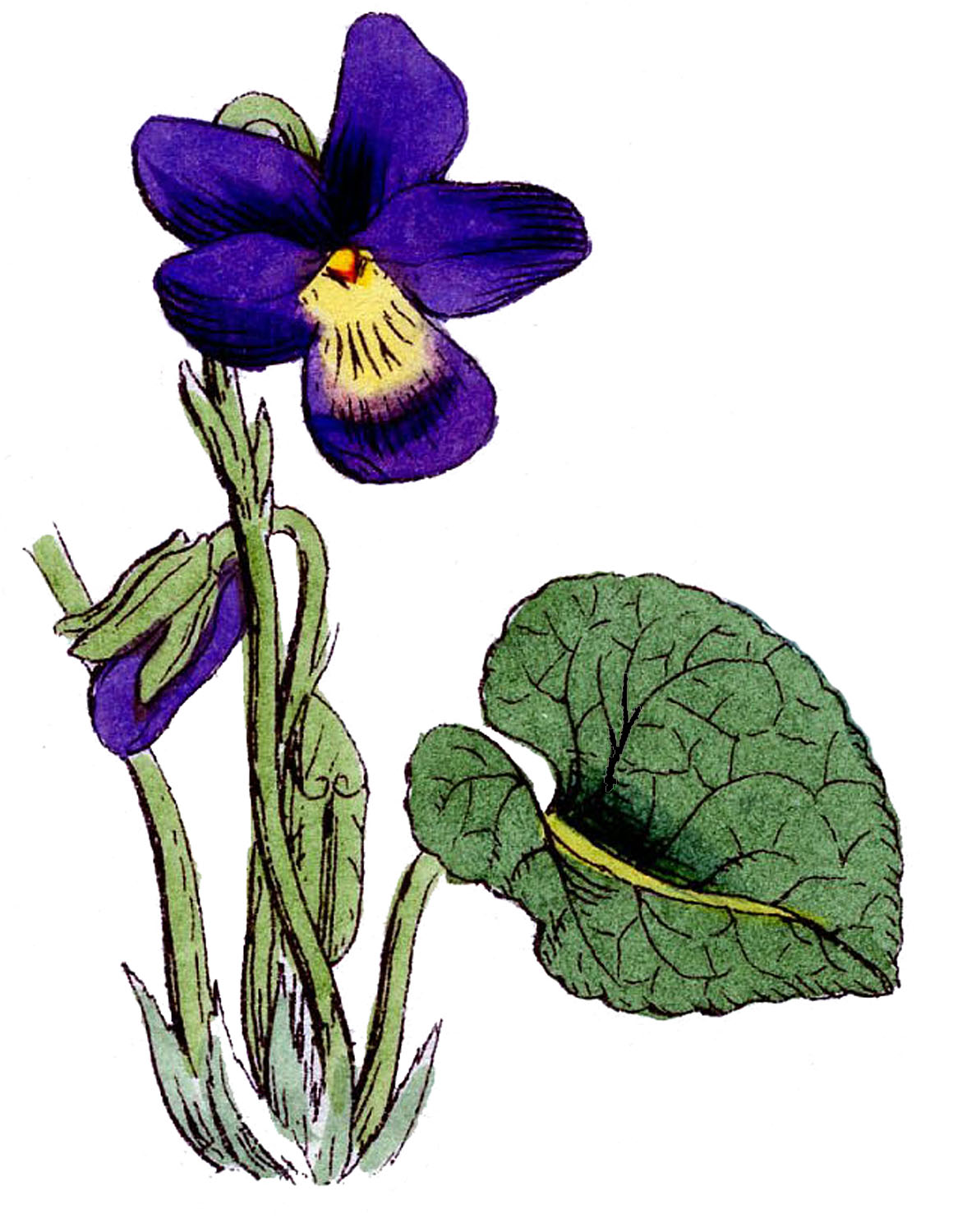 Vintage Floral Images - 3 Lovely Violets - The Graphics Fairy