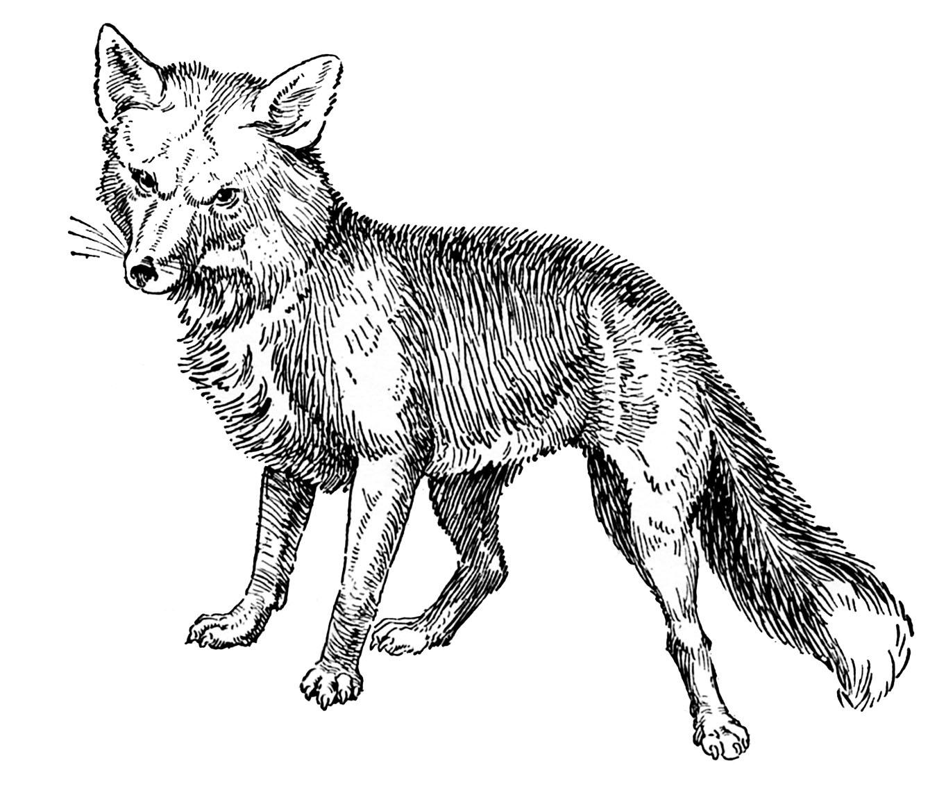 Vintage Animal Clip Art Fox Drawings
