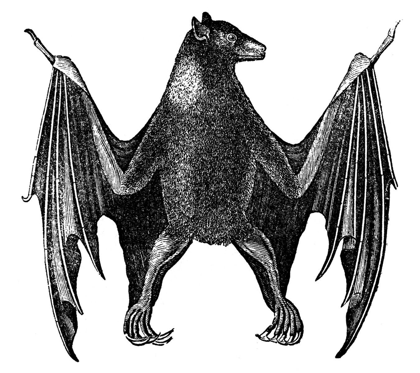 Antique Natural History Image - Bat - Halloween - The ...